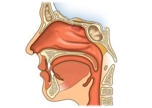 Anatomie der Nase