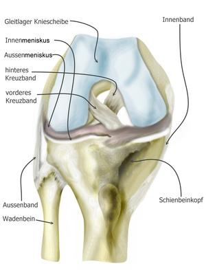 Knieschmerzen - Knie Anatomie