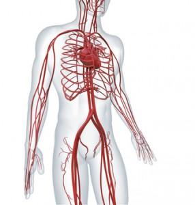 Arterien transportieren das Blut vom Herzen zu den Organen