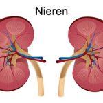 Nieren sind dafür zuständig, das Blut zu reinigen